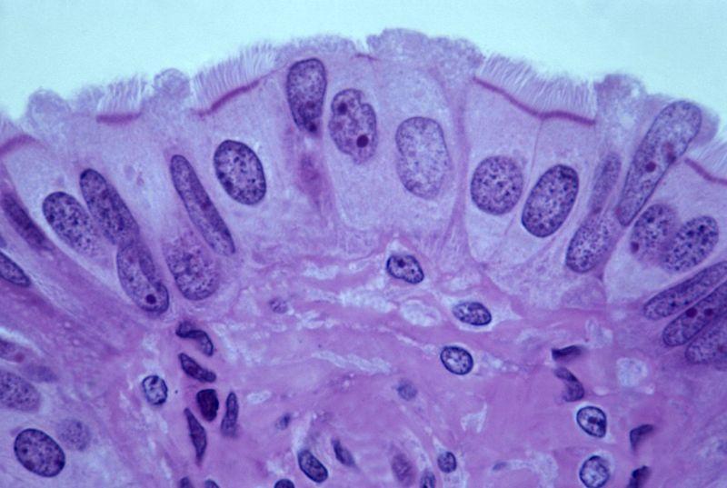 intermenstrual estrogen endometrial lining
