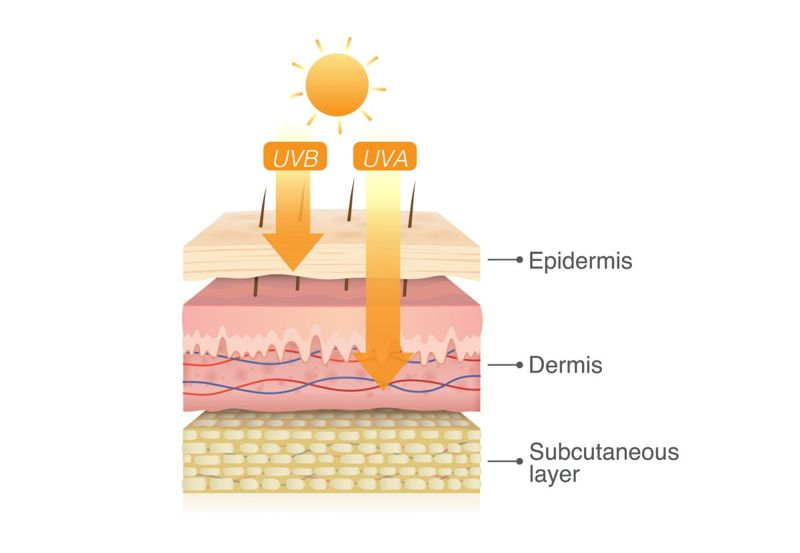 UV radiation damages skin dermis