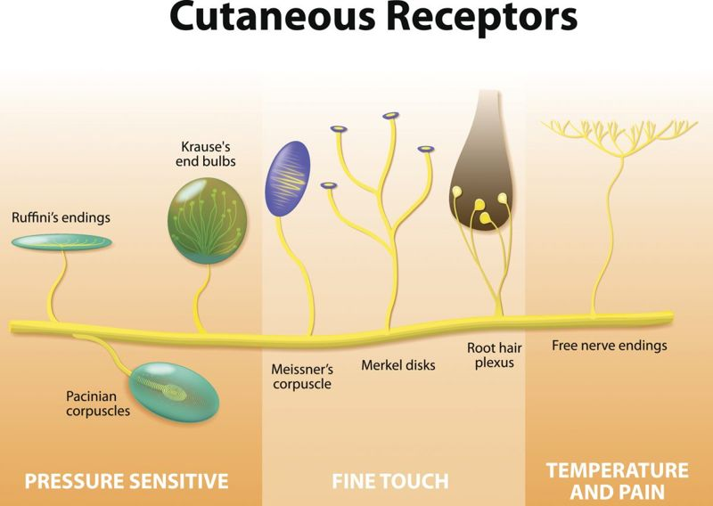 mechanoreceptors meissner pacinian corpuscle dermis