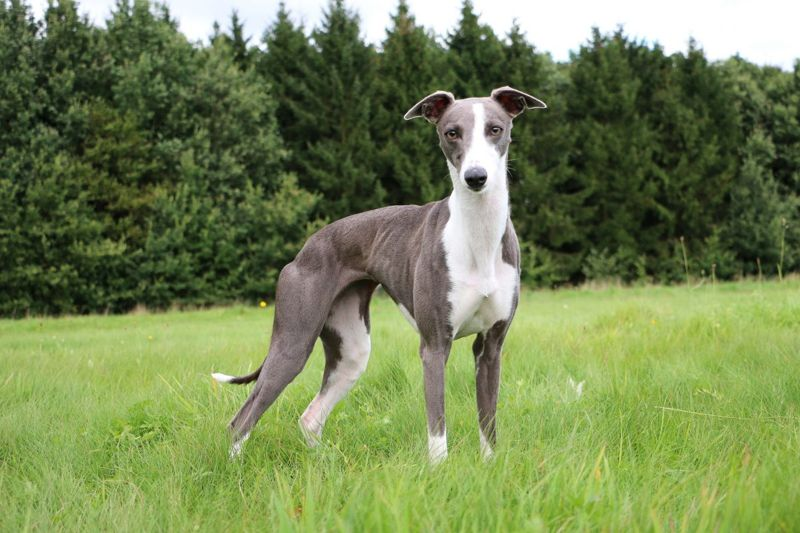 Whippet Quick Reward-Based System
