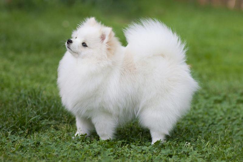 toy spitz canine pomeranian
