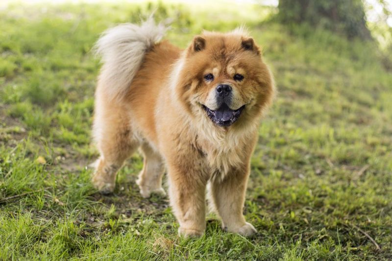 Chow chow in a park