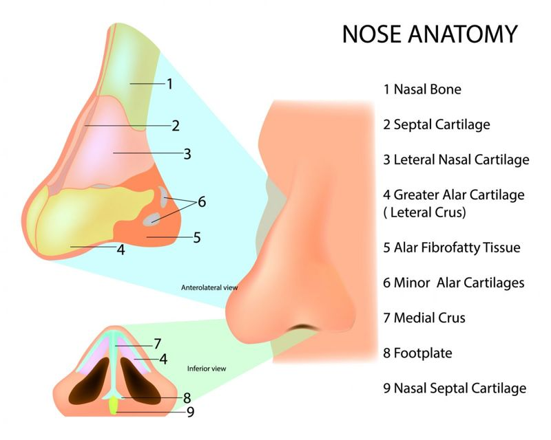 cartilage bone shape nose anatomy
