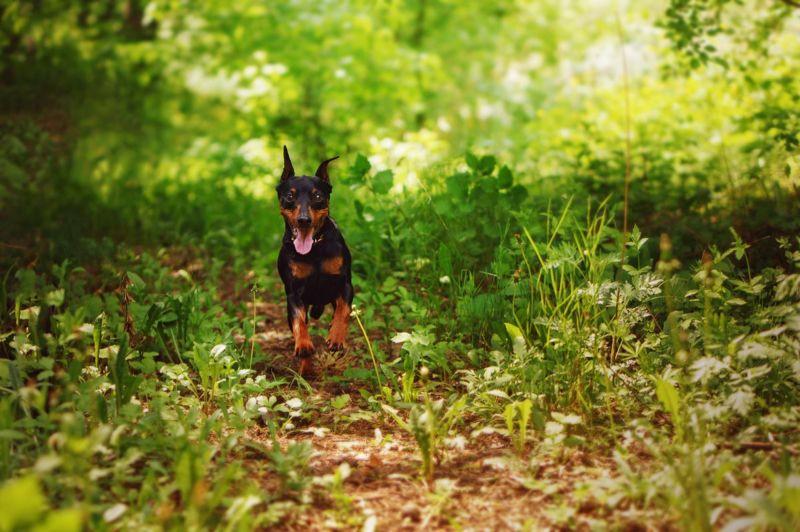 Cheap miniature pinscher running in forest