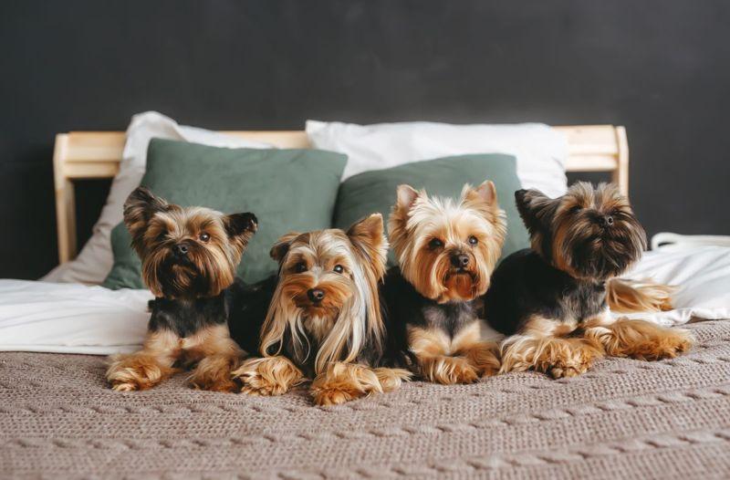 yorkie toy dog yorkshire terrier