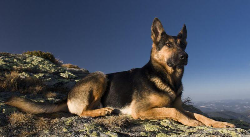 working dog german shepherd