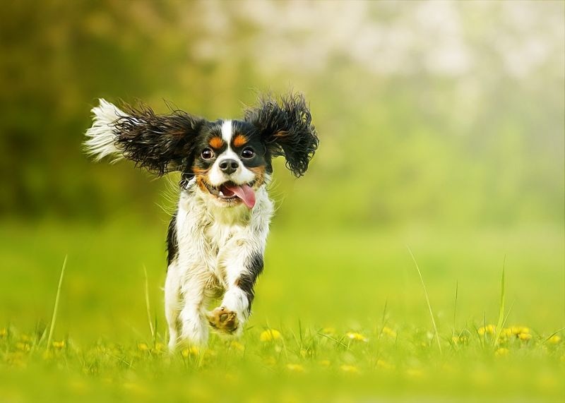 King Charles spaniel running in a field