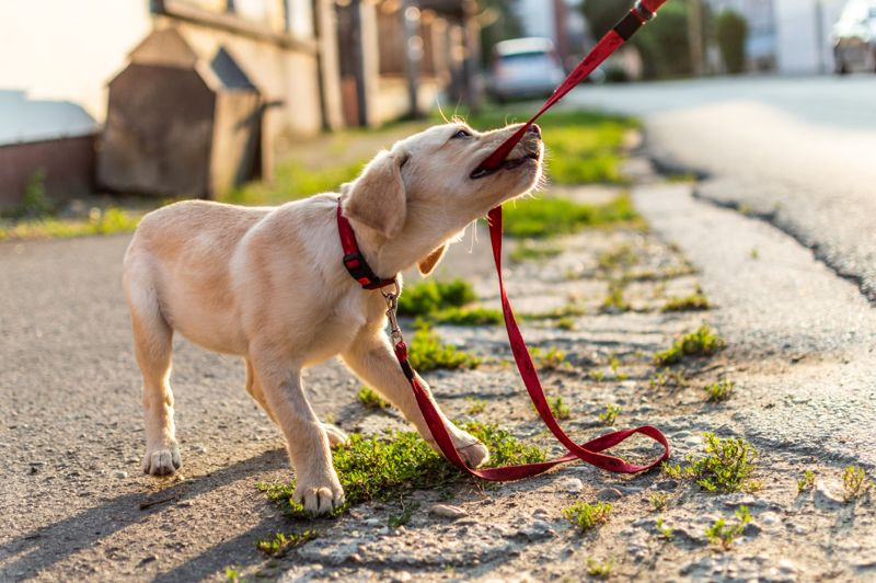 Small puppy white golden Labrador dog playing outdoors.