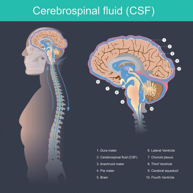 meninges spinal cord brain fluid