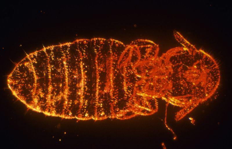 ectoparasites blood body lice