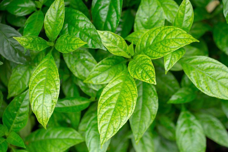 herbal diuretics supplements remedy
