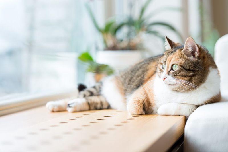 indoor cat pet
