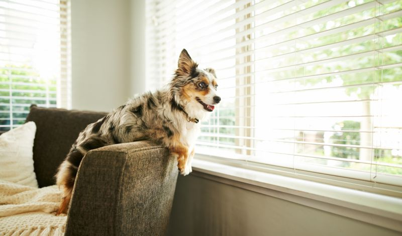 Shot of an adorable Australian shepherd dog sitting on the sofa at home