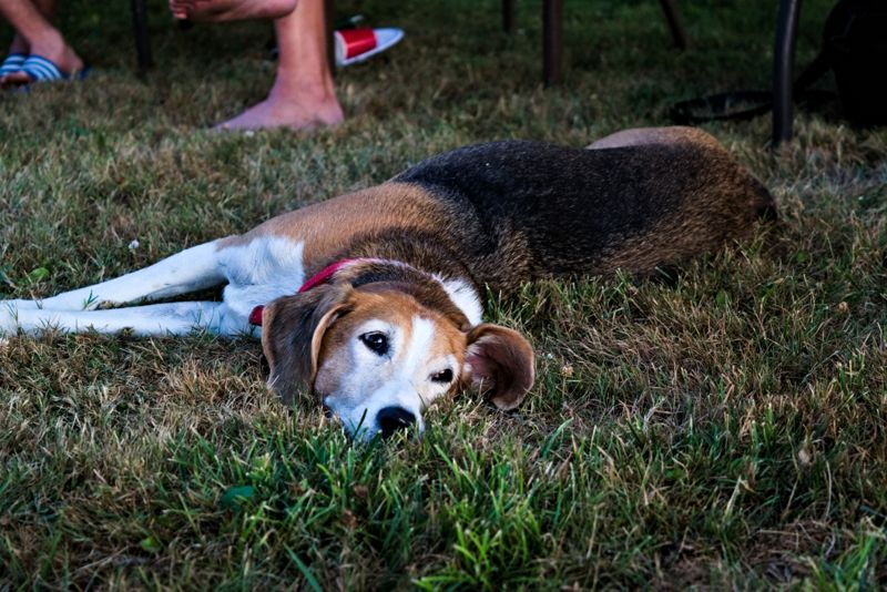 Foxhound senior pet stretching lazily on a mown lawn. Taken from the front her eyes are open but she is totally relaxed and calmlu watching what is happening.