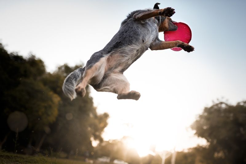 Australian cattle dog catching frisbee disc at park