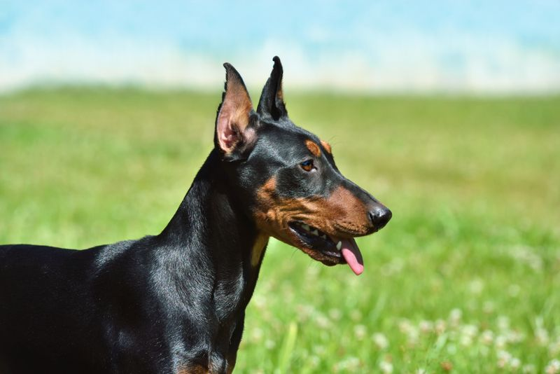 Tan-and-black German Pinscher or Doberman dog with uncropped tail and ears sitting on green grass