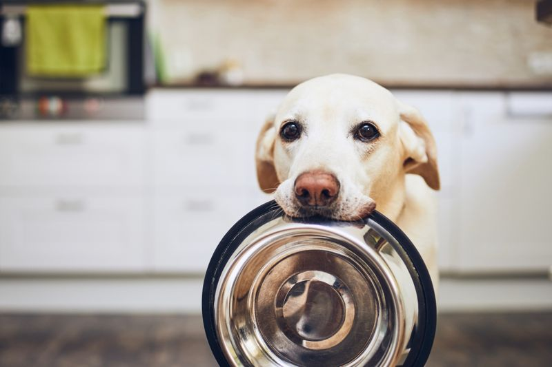 Hungry dog with sad eyes is waiting for feeding in home kitchen. Adorable yellow labrador retriever is holding dog bowl in his mouth.