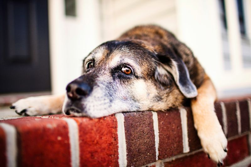 11 year old dog waiting on front stoop with very sad look on her face