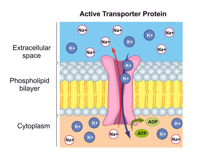 illustration of active transport in the body