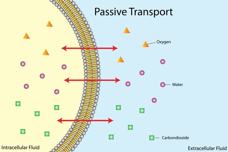 illustration of passive transport in and out of a cell