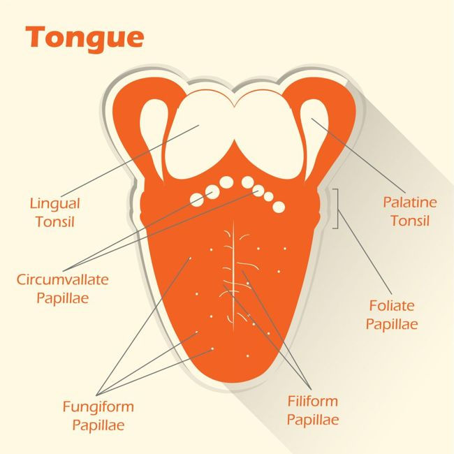 illustration of the parts of the tongue