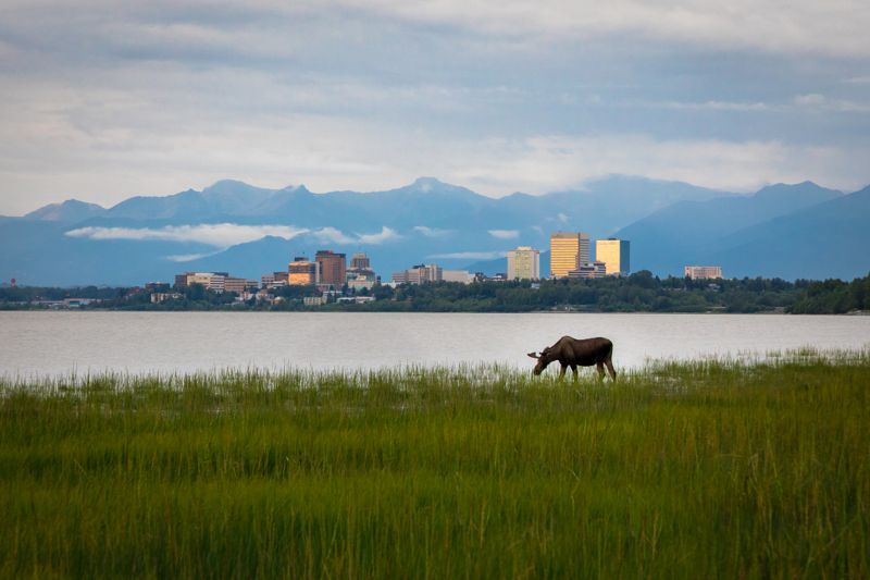 A moose grazing in Cook Inlet with Anchorage Alaska in the background.