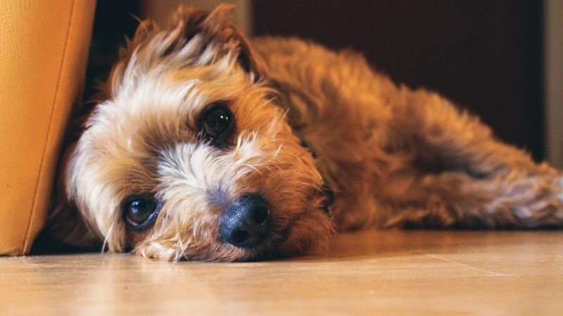A small terrier laying on the floor looking soulfully at the camera.
