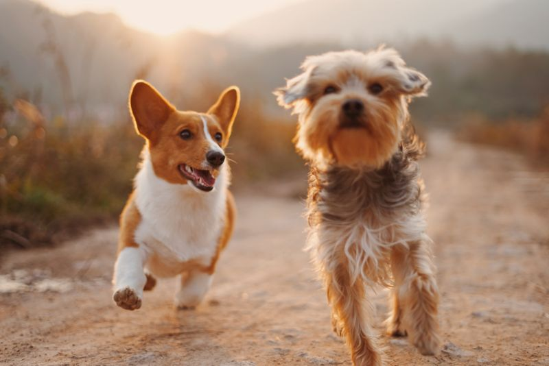 A corgi and a terrier running down a path side by side.