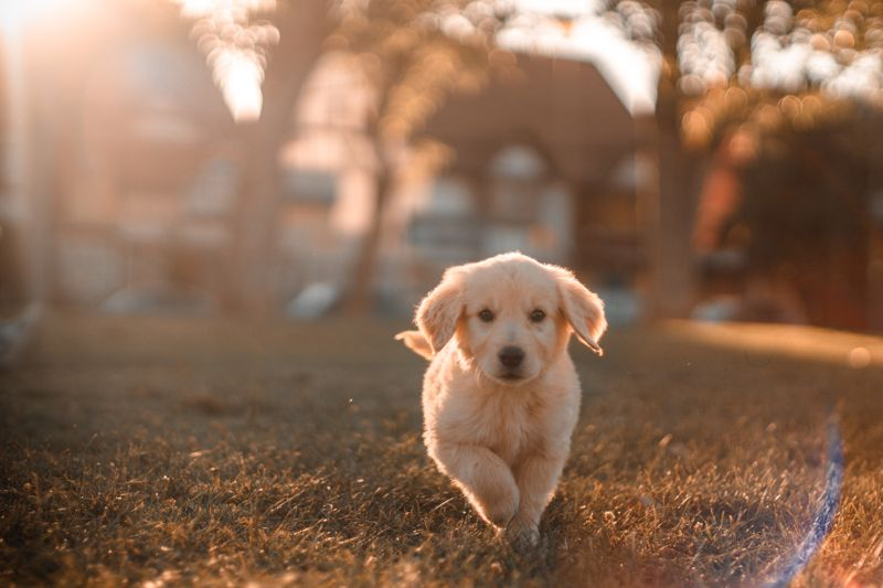 A young puppy running across the grass towards the camera.
