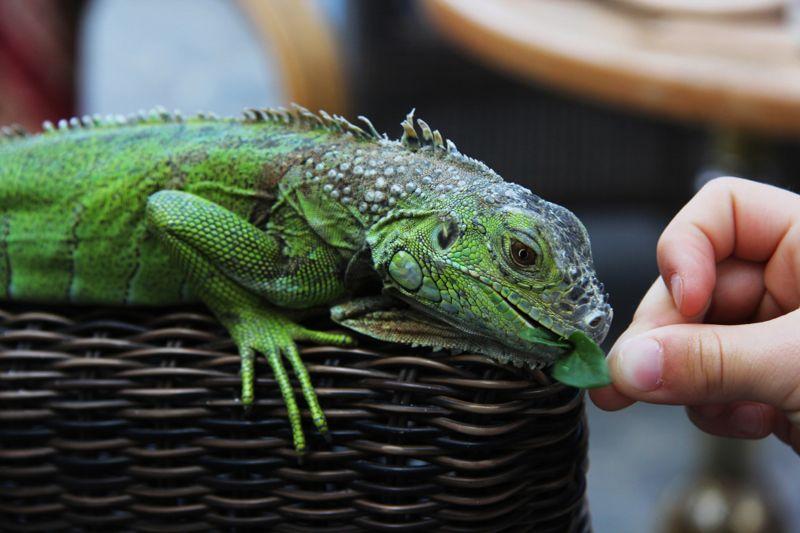 Hand of a girl feeding a mint leaf to an iguana