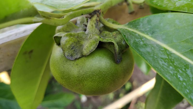 black sapote fruit on the plant
