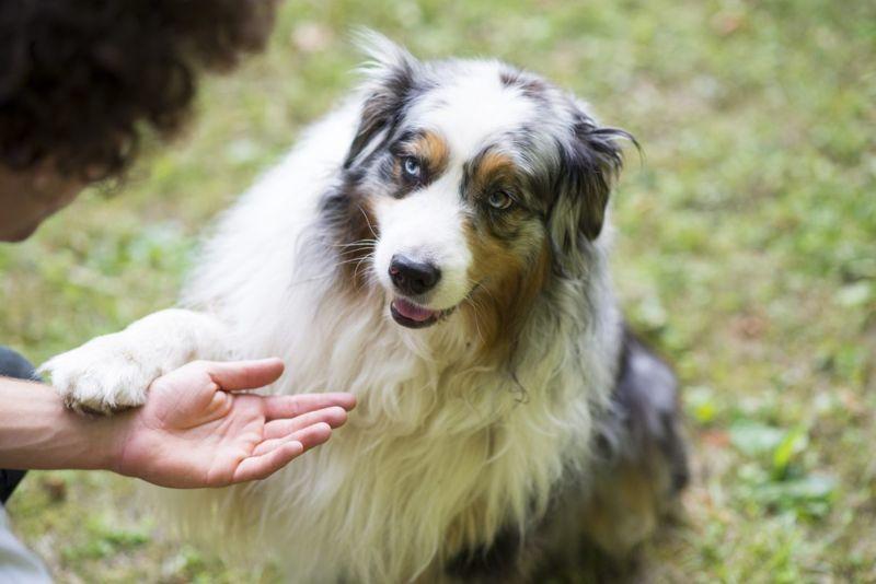 Loving Australian Shepherd giving his paw