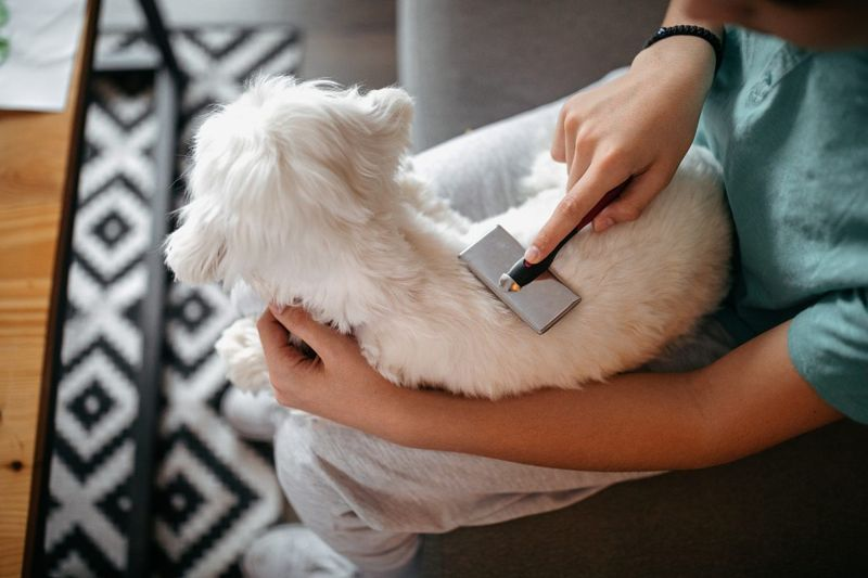 Close-up of teen brushing his small white dog on his lap.