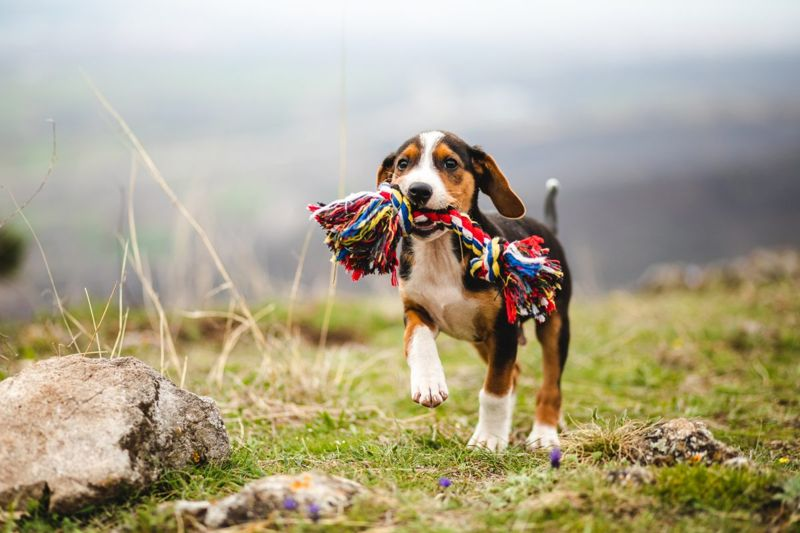 Beagle playing fetch with rainbow chew toy