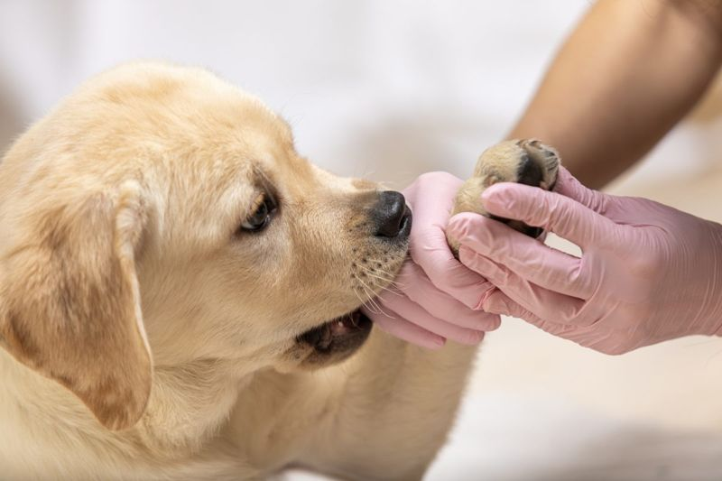 Cute labrador puppy getting his foot taken care of by vet.