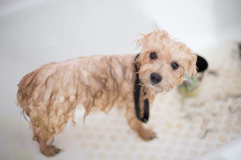 Small dog in the bathtub