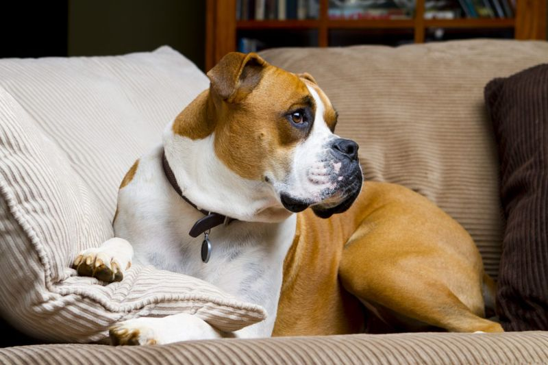 Boxer on a Sofa