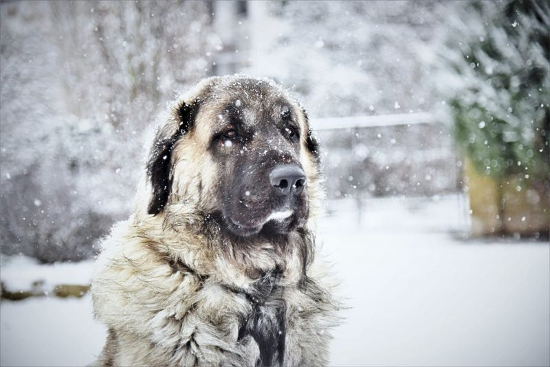 Large dog in the snow