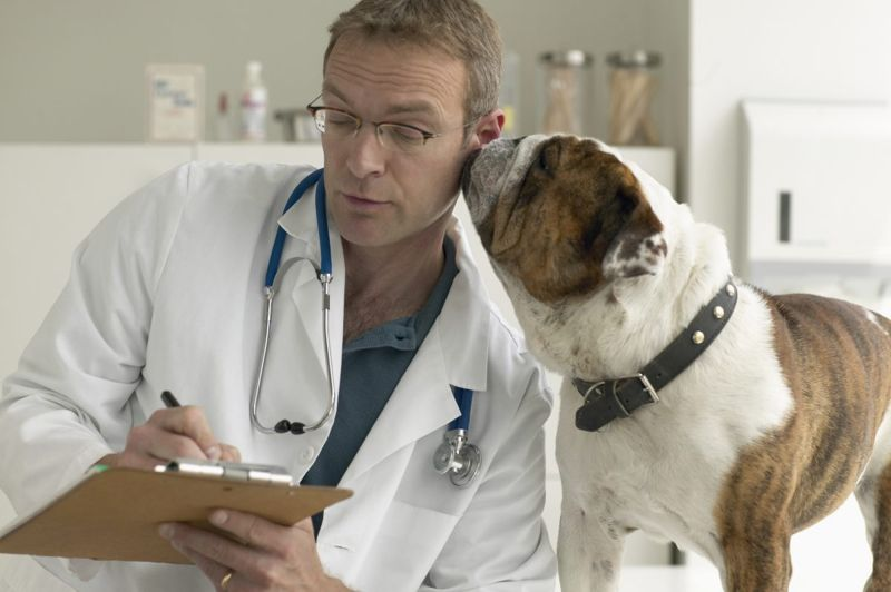 Bulldog nuzzling vet