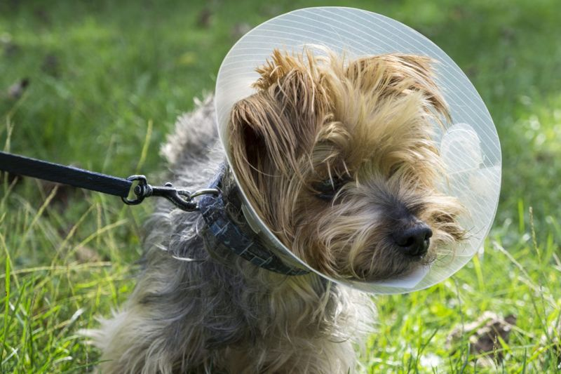 Cute Yorkshire Terrier dog on leash with an E-collar.