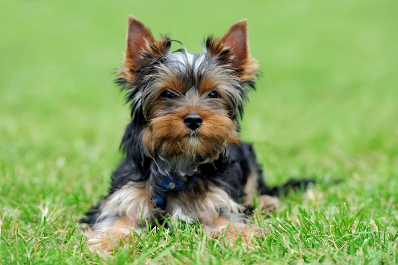 Cute Yorkshire Terrier lying in the grass