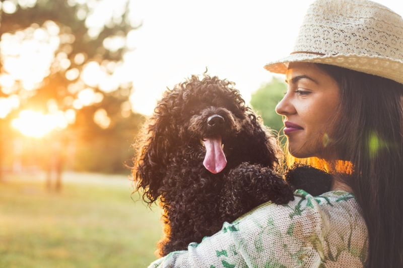 Adorable small dog cuddled against owner's shoulder in sunset.
