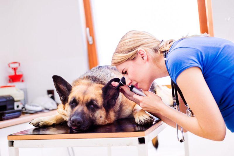 Vet checking German Shepherd Dog's ear.