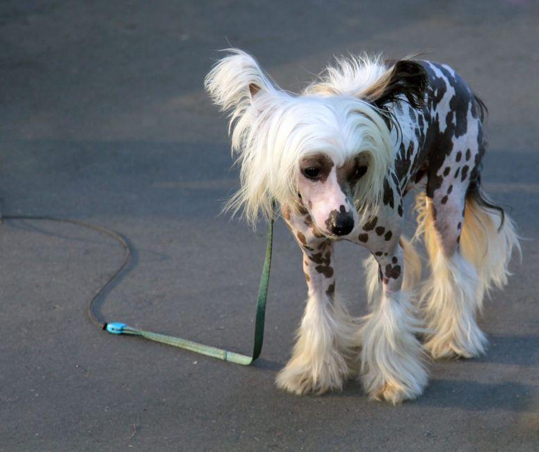 Sad Chinese Crested dog