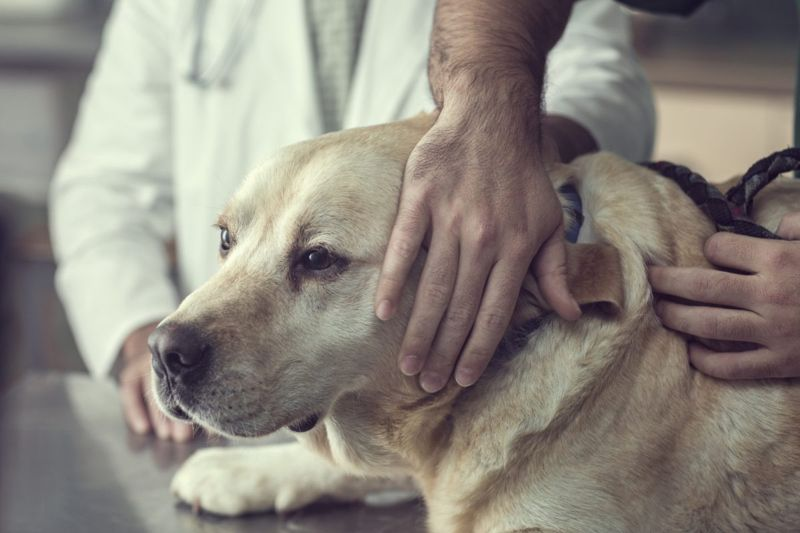 Labrador dog getting ears examined by veterinarian.