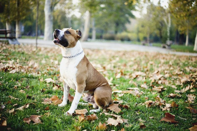 Playful American Staffordshire Terrier