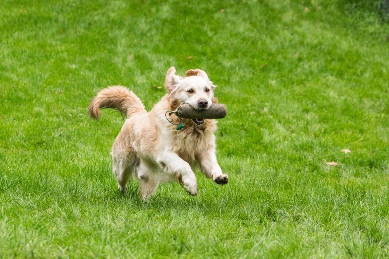 Golden Retriever running through the grass.