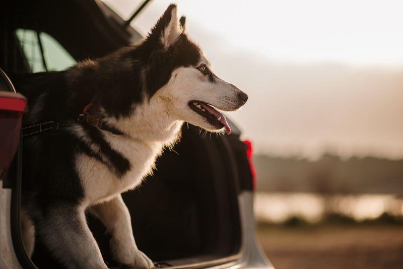 A Husky dog inside a car trunk
