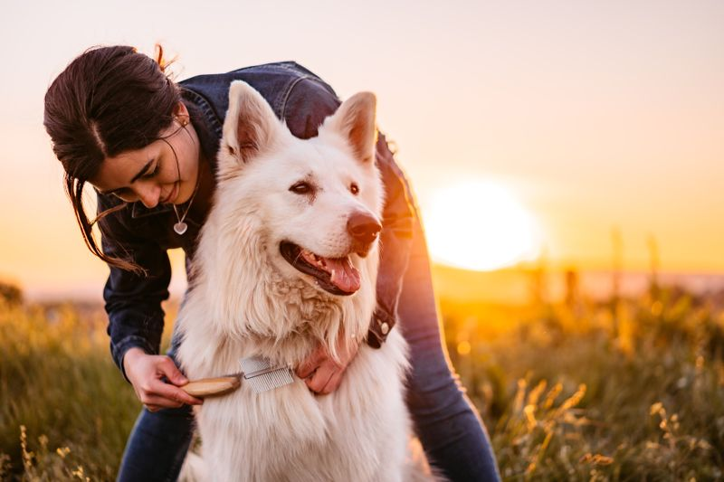 Happy young woman grooming her Switzerland Shepherd dog on the meadow at sunset.