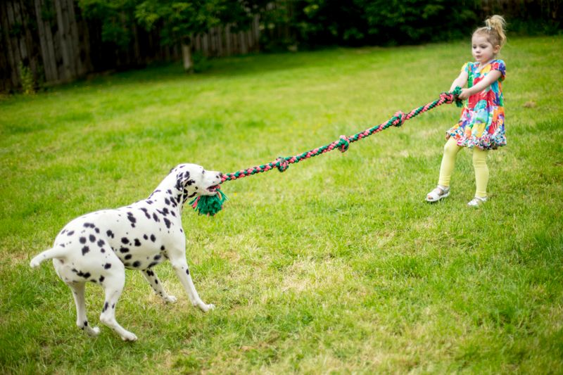 Little girl playing tug-of-war with a dalmatian dog. The are in a garden on the grass.